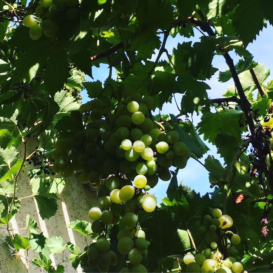vigne suspendue raisins